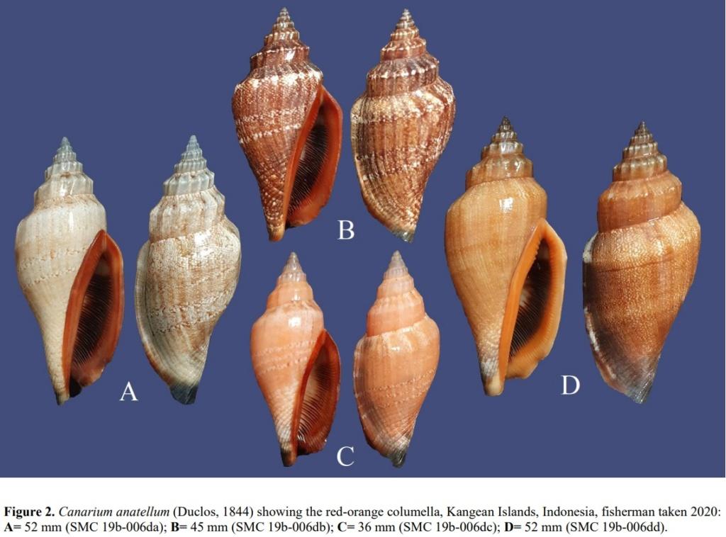 Canarium anatellum - (Duclos, 1844) Anat110