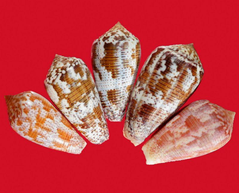 Conus (Pionoconus) achatinus  Gmelin, 1791 - Page 2 C_acha10