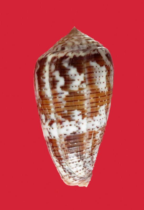 Conus (Pionoconus) achatinus  Gmelin, 1791 - Page 2 C_acha11