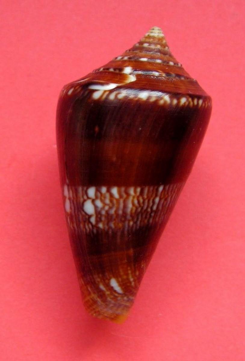 Conus (Leptoconus) castaneofasciatus  Dautzenberg, 1937 C_amad10