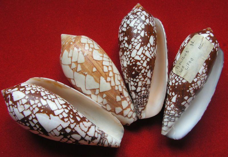 Conus (Darioconus) aulicus   Linnaeus, 1758 C_auli11