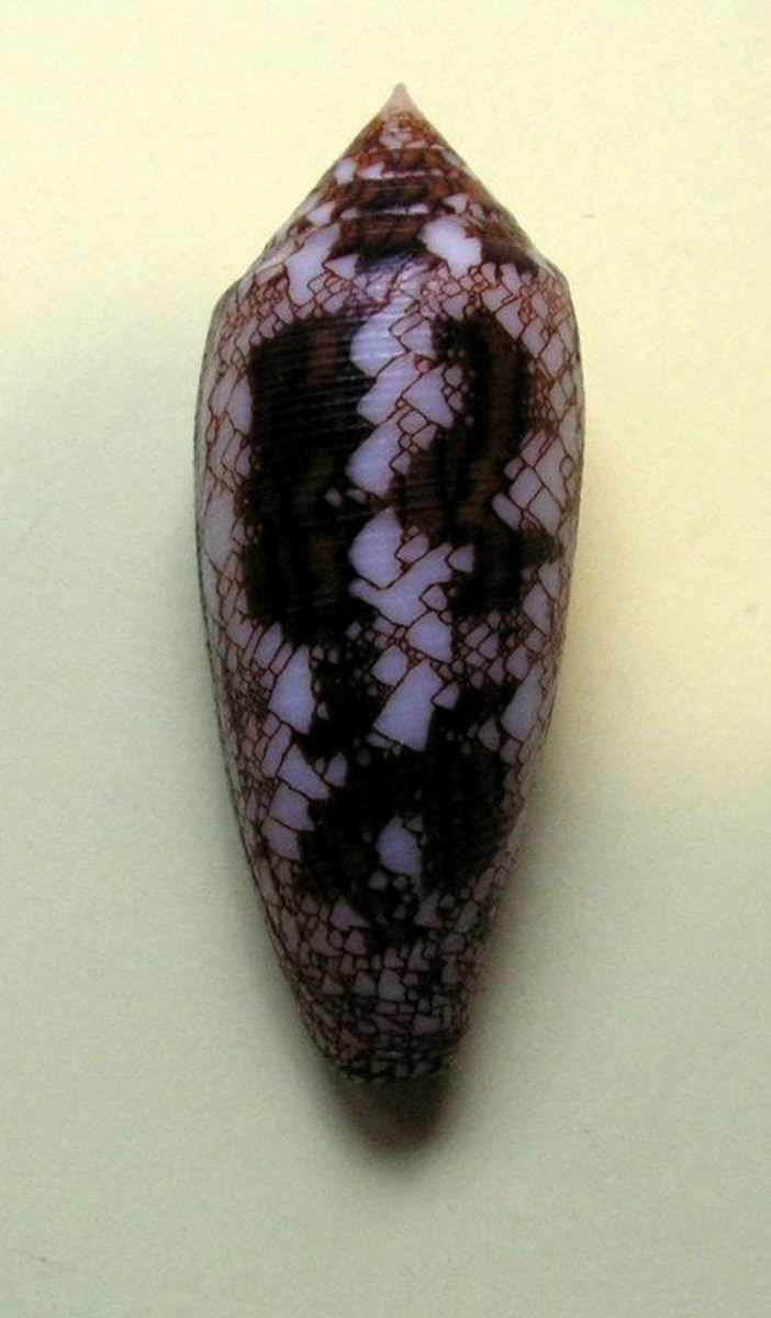 Conus (Cylinder) aureus   Hwass in Brugière, 1792 C_aure10