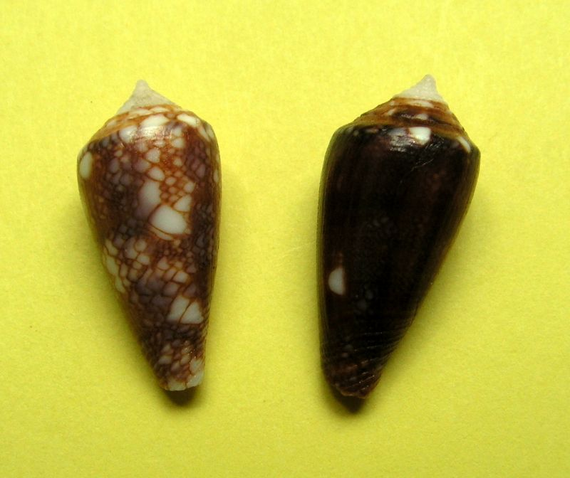 Conus (Cylinder) barbieri    Raybaudi, 1995 C_barb10