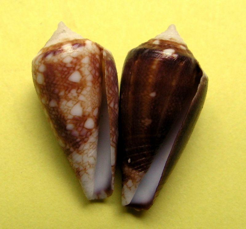 Conus (Cylinder) barbieri    Raybaudi, 1995 C_barb11