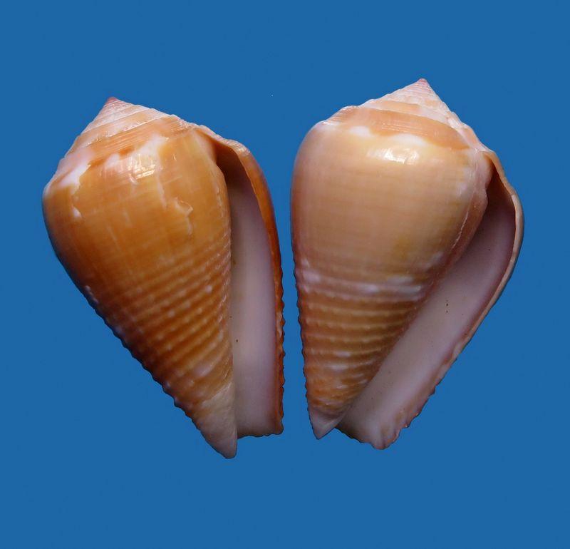 Conus (Pionoconus) catus  vezorum   Bozzetti, 2017 C_catu11