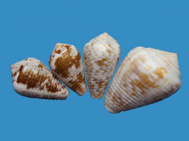 Conus (Pionoconus) catus   Hwass in Bruguière, 1792 - Page 4 C_catu13