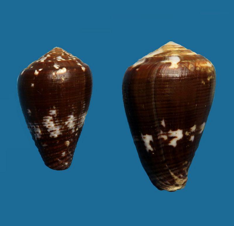 Conus (Pionoconus) catus fuscoolivaceus  Dautzenberg, 1937 C_catu16