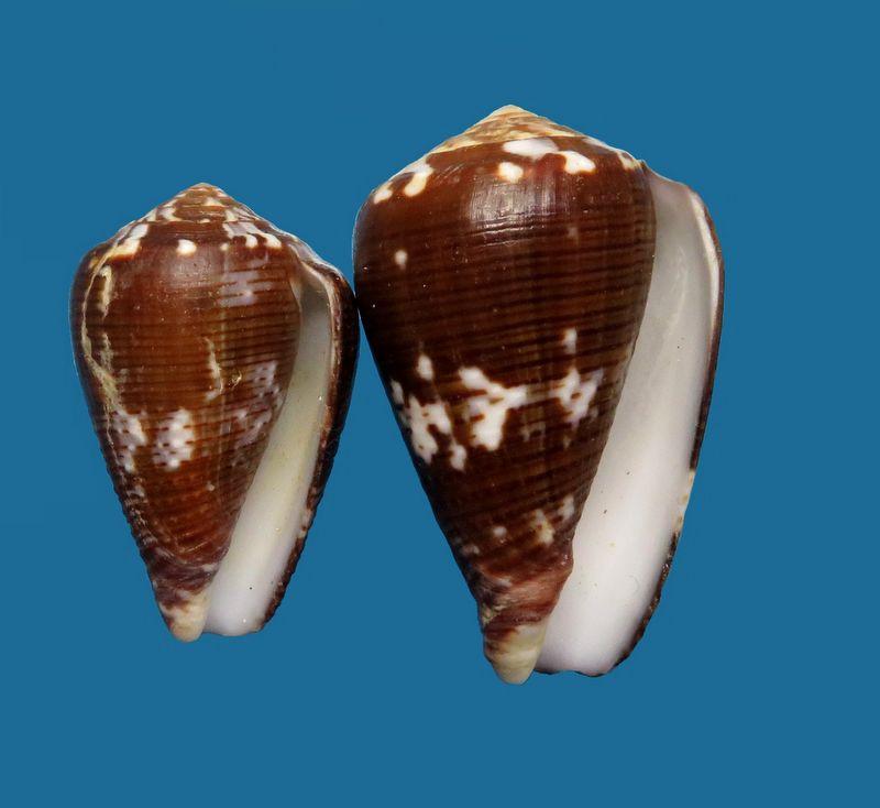 Conus (Pionoconus) catus fuscoolivaceus  Dautzenberg, 1937 C_catu17