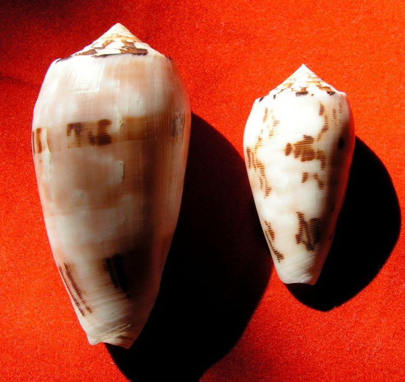 Conus (Pionoconus) striatus chusaki (da Motta 1978) voir Conus (Pio.) striatus C_chus10