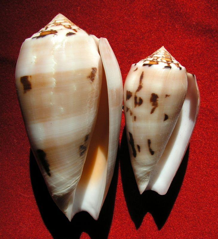Conus (Pionoconus) striatus chusaki (da Motta 1978) voir Conus (Pio.) striatus C_chus11