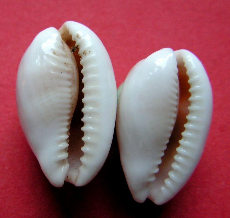 Palmadusta clandestina - (Linnaeus, 1767) C_clan12