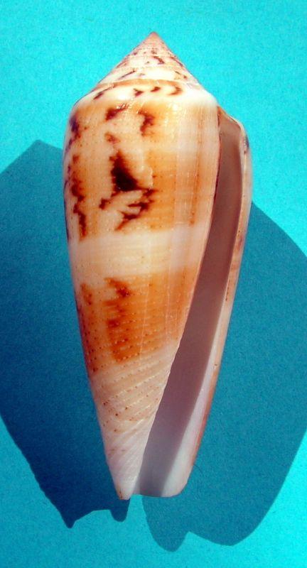 Conus (Pionoconus) consors turschi  (da, Motta, 1985)  C_cons16