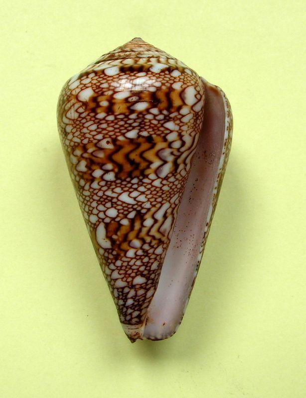 Conus (Cylinder) dalli   Stearns, 1873 C_dall11