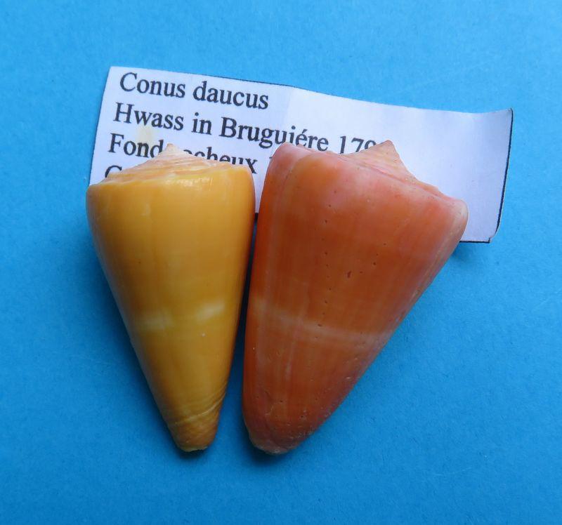 Conus (Dauciconus) daucus  Hwass in Bruguière, 1792 C_dauc10