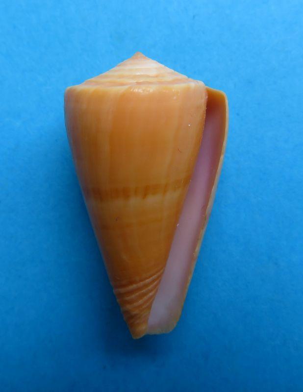 Conus (Dauciconus) daucus  Hwass in Bruguière, 1792 - Page 4 C_dauc16