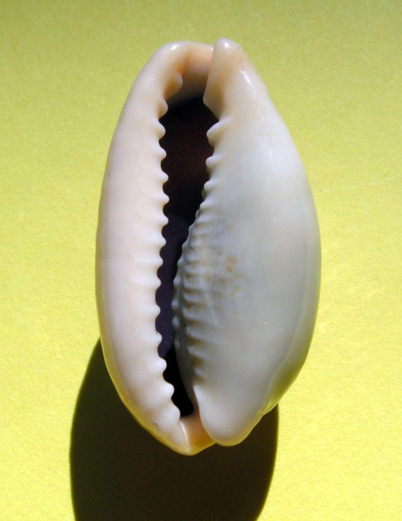 Erronea errones bimaculata - (Gray, 1824) C_errb11
