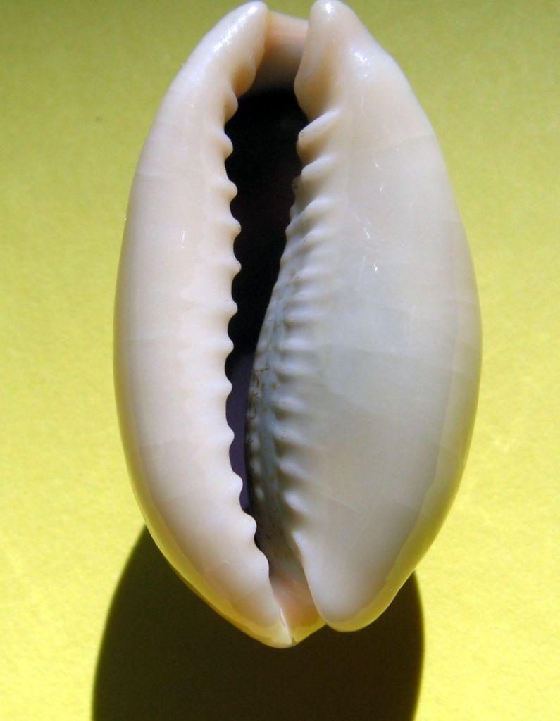 Erronea errones bimaculata - (Gray, 1824) C_errb12