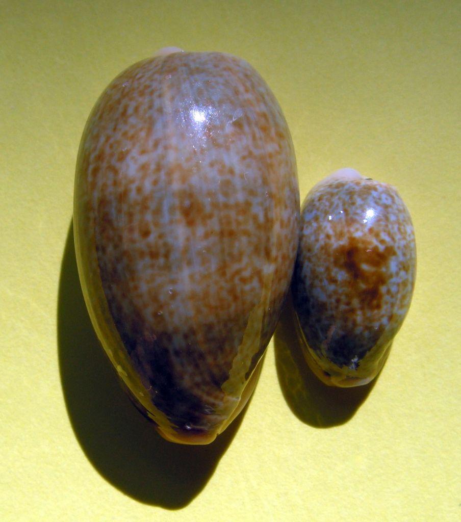 Erronea errones bimaculata - (Gray, 1824) C_errb13