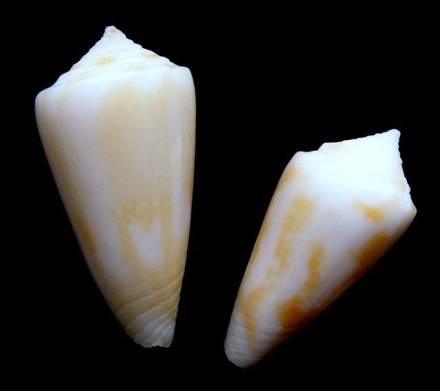 Conus (Dauciconus) flavescens   GB Sowerby I, 1834 C_flav10