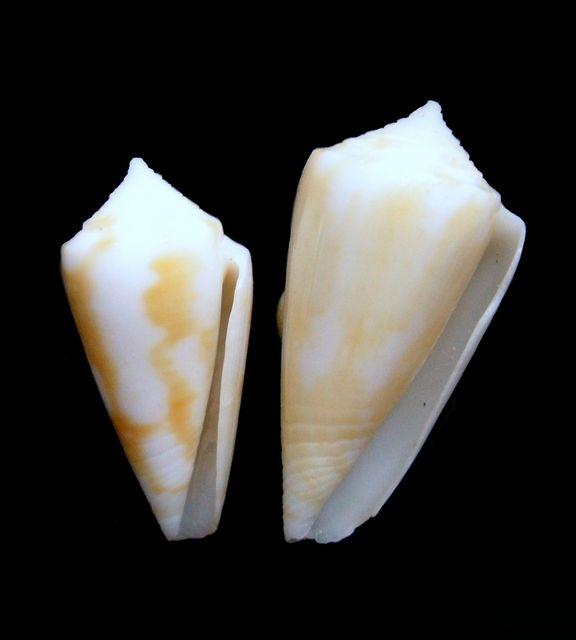 Conus (Dauciconus) flavescens   GB Sowerby I, 1834 C_flav11