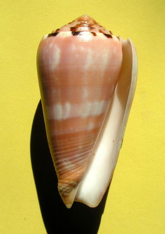 Conus (Pionoconus) gauguini  Richard & Salvat, 1973 - Page 6 C_gaug12
