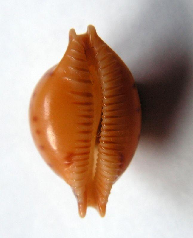 Pustularia globulus - (Linnaeus, 1758) C_glog11