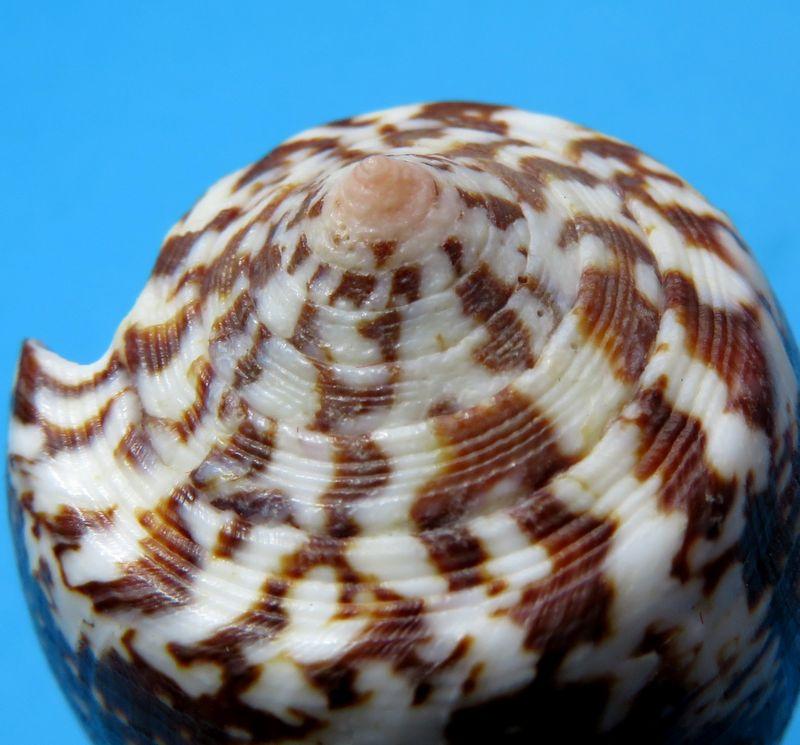 Conus (Pionoconus) magus assimilis Adams, 1855 voir Conus (Pionoconus) magus - Page 2 C_magu16