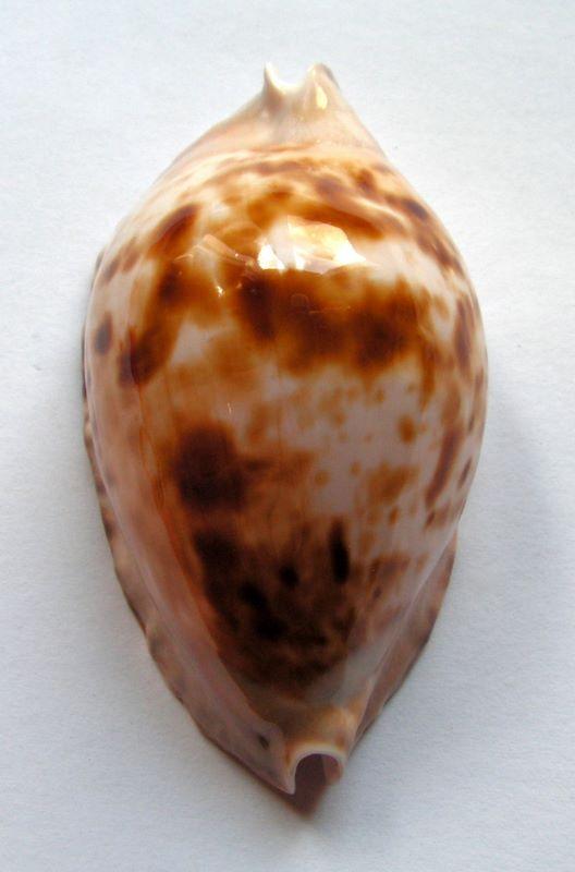 Zoila marginata consueta - Biraghi, 1993 C_marg10