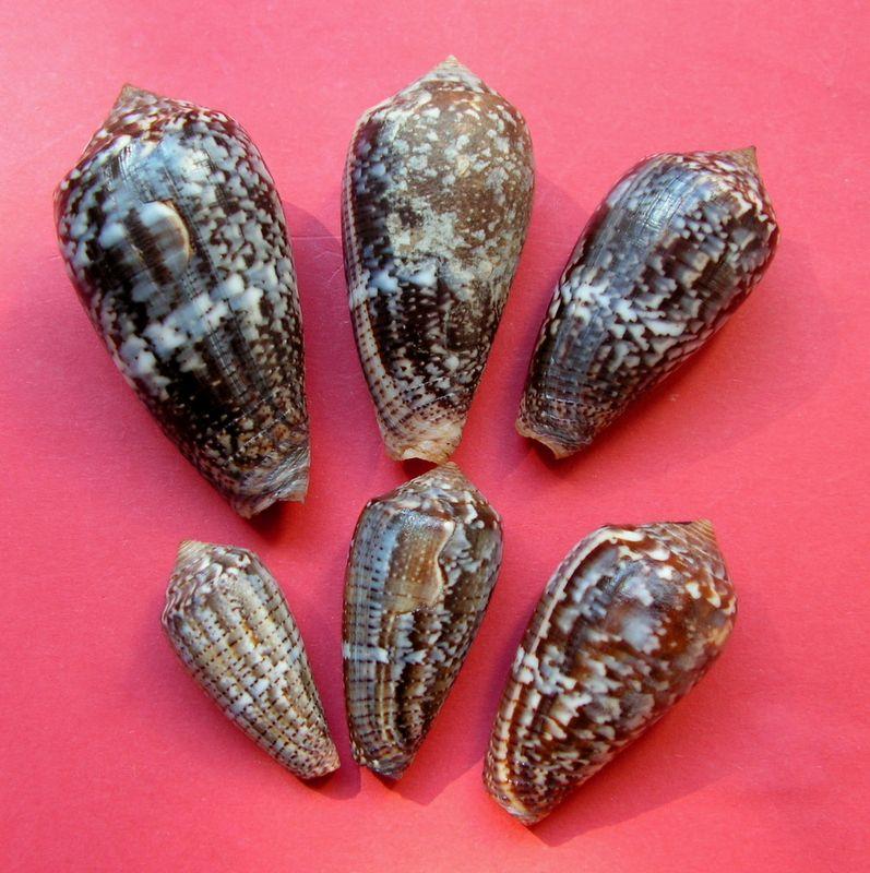 Conus (Pionoconus) monachus  (Linnaeus, 1758)  C_monc10