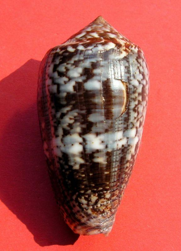 Conus (Pionoconus) monachus  (Linnaeus, 1758)  C_monc11