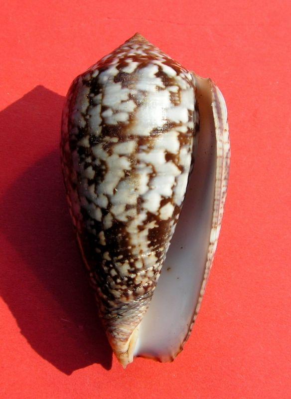 Conus (Pionoconus) monachus  (Linnaeus, 1758)  C_monc12