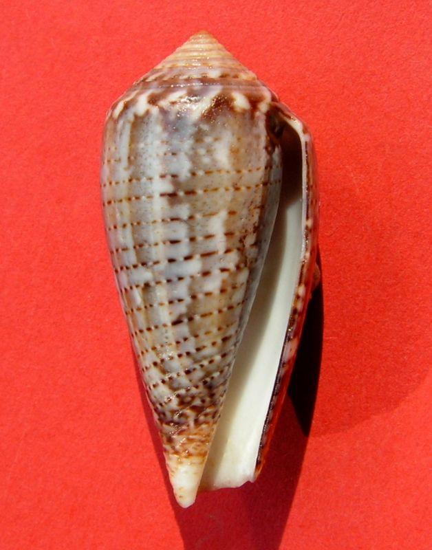Conus (Pionoconus) monachus  (Linnaeus, 1758)  C_monc14