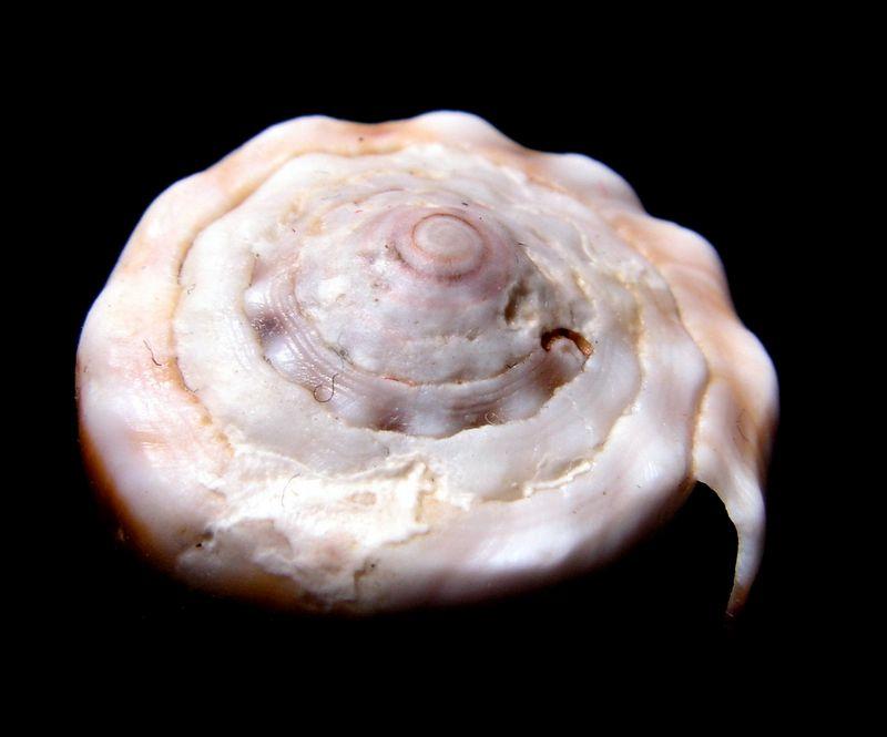 Sanguinolentus - Conus (Lividoconus) sanguinolentus  Quoy & Gaimard, 1834 - Page 2 C_sang13