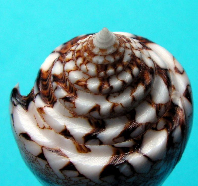 Conus (Cylinder) scottjordani (Poppe, Monnier & Tagaro, 2012) C_scot12