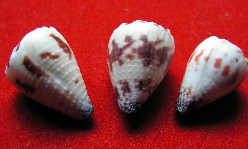Conus (Harmoniconus) sponsalis  Hwass in Bruguière, 1792 - Page 2 C_spon10