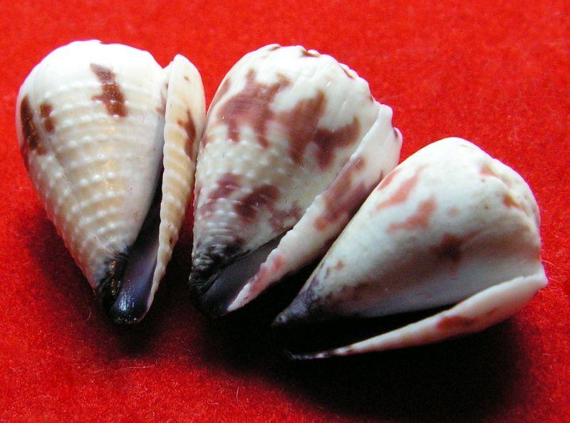 Conus (Harmoniconus) sponsalis  Hwass in Bruguière, 1792 - Page 2 C_spon11