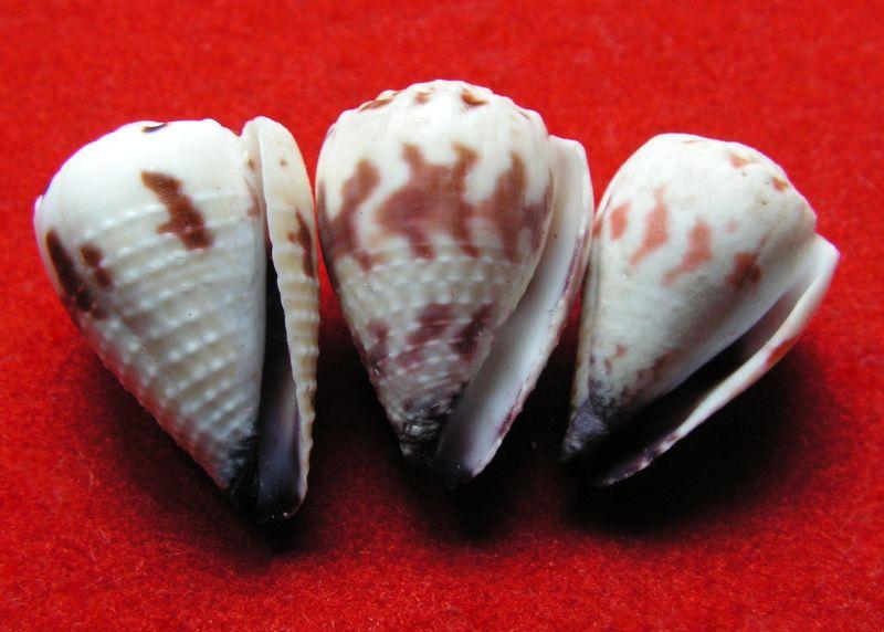 Conus (Harmoniconus) sponsalis  Hwass in Bruguière, 1792 - Page 2 C_spon12