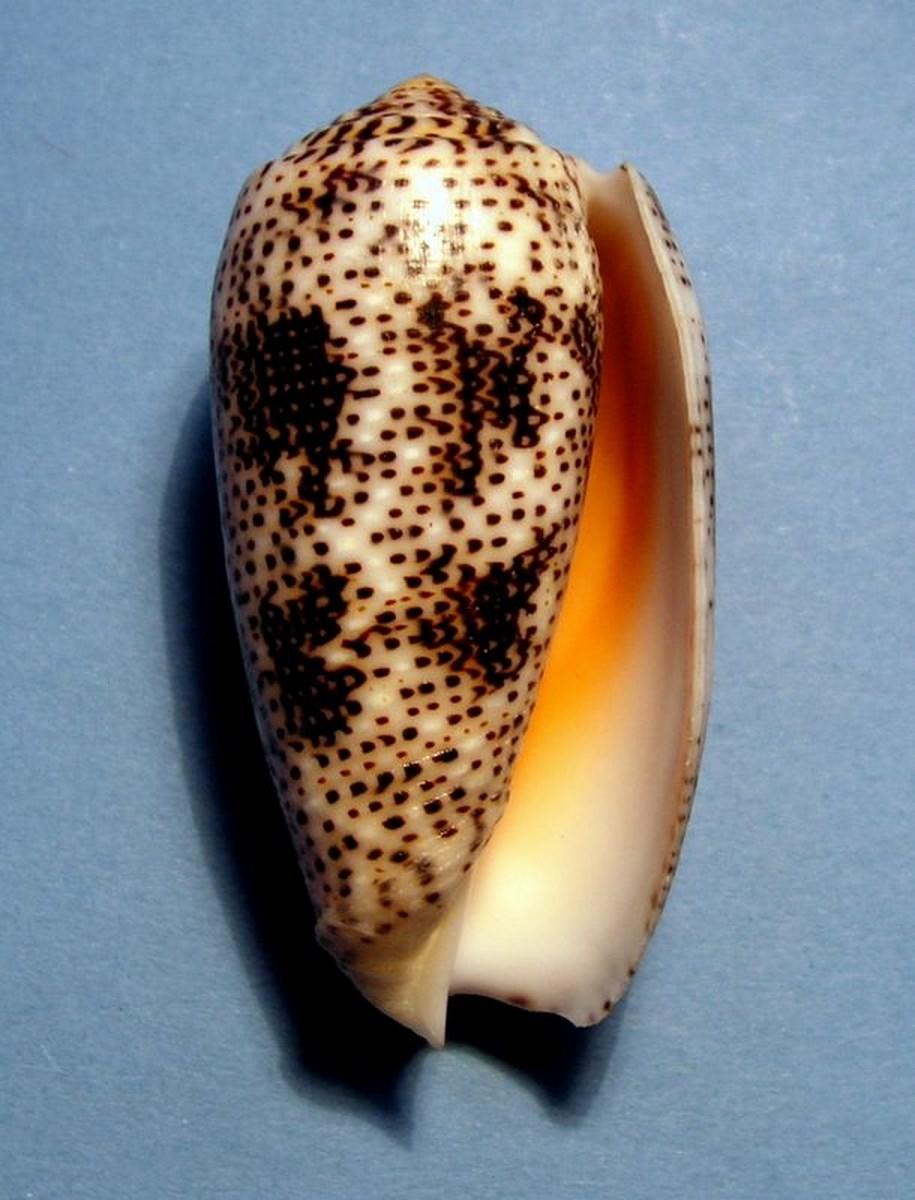 Conus (Pionoconus) stercusmuscarum   Linnaeus, 1758 C_ster11