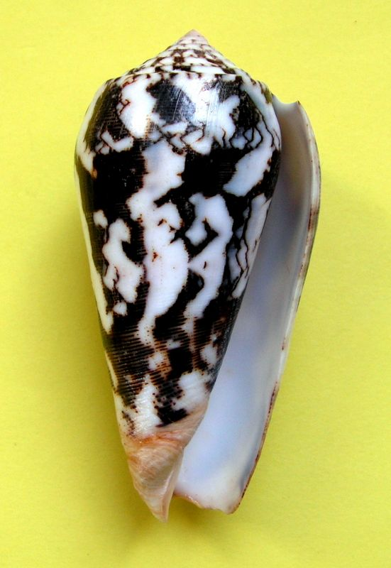 Conus (Pionoconus) striatus juliaallaryae   Cossignani, 2013 C_stri11
