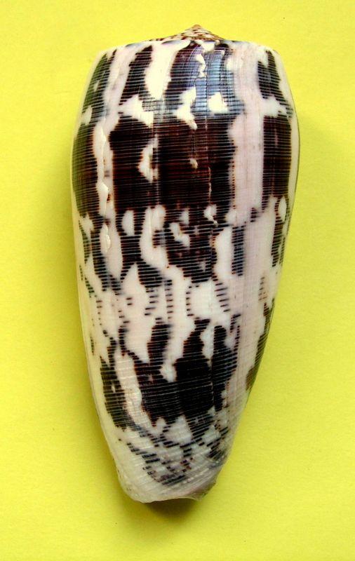 Conus (Pionoconus) striatus oahuensis    Tucker, Tenorio & Chaney, 2011 C_stri13
