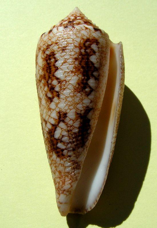 Conus (Cylinder) tagaroae - (Limpalaër & Monnier, 2013) C_taga11