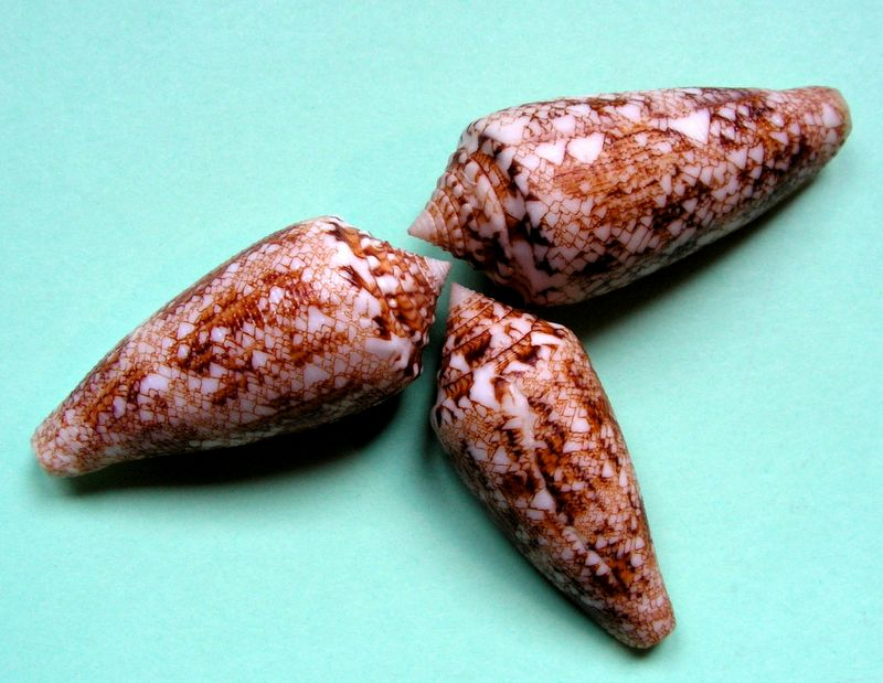 Conus (Cylinder) tagaroae - (Limpalaër & Monnier, 2013) C_taga13