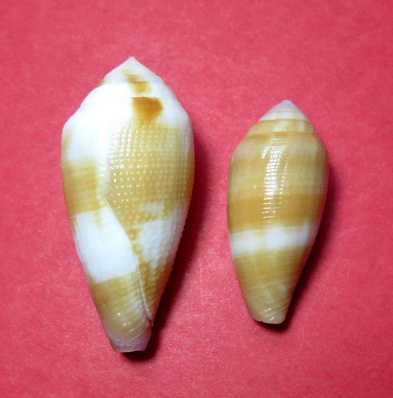 Conus (Leporiconus) tenuistriatus  GB Sowerby II, 1858 - Page 3 C_tenu10