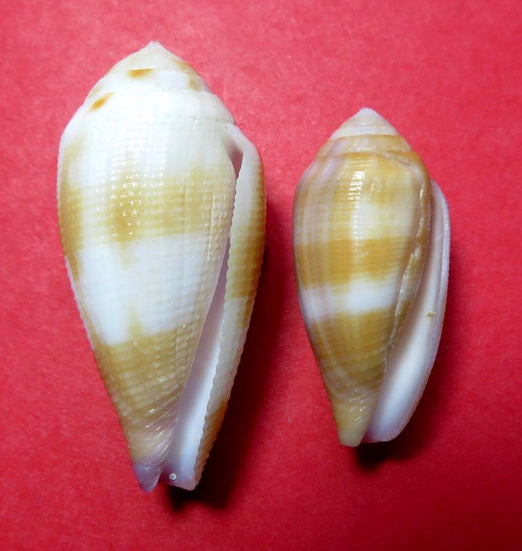 Conus (Leporiconus) tenuistriatus  GB Sowerby II, 1858 - Page 3 C_tenu11