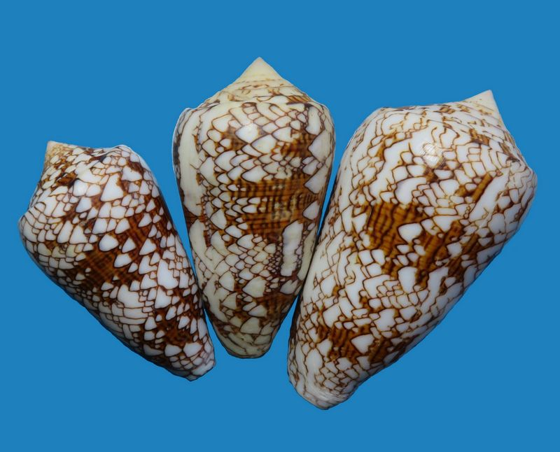 Conus (Cylinder) neovicarius   da Motta, 1982 C_text19
