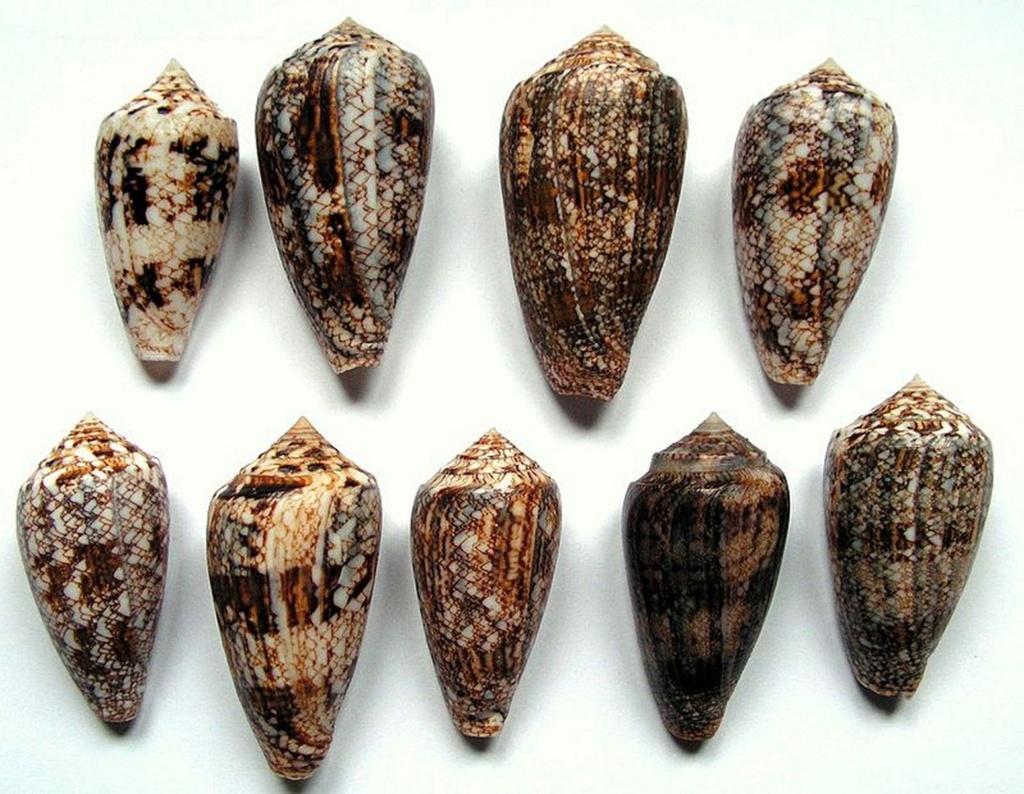 Conus (Cylinder) victoriae   Reeve, 1843 C_vict10