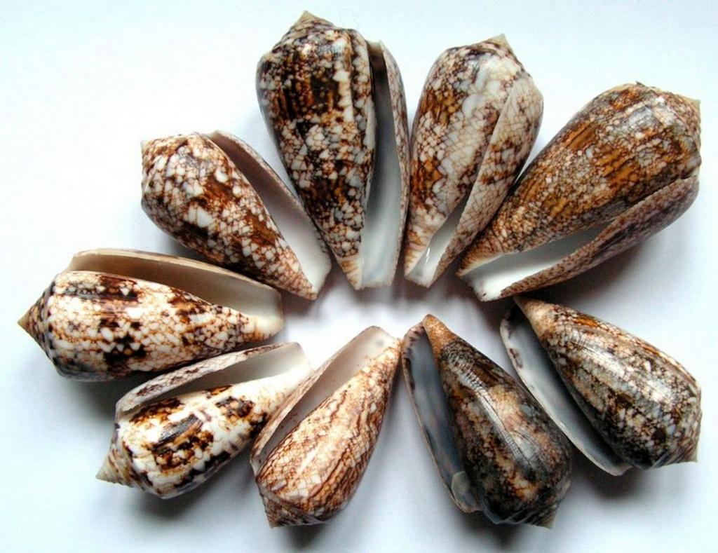 Conus (Cylinder) victoriae   Reeve, 1843 C_vict11