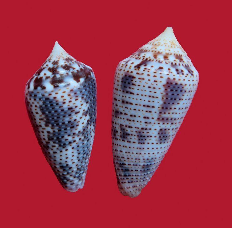 Conasprella (Ximeniconus) ximenes (Gray, 1839) C_xime10