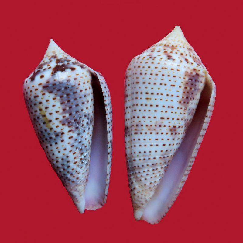 Conasprella (Ximeniconus) ximenes (Gray, 1839) C_xime11