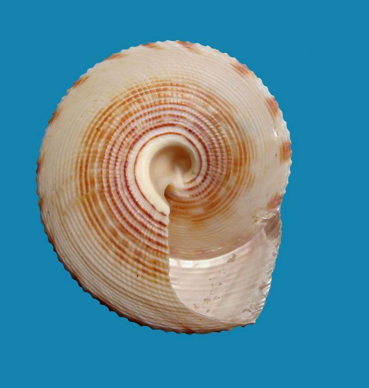 Calliostoma formosense - E. A. Smith, 1907 Callfo12